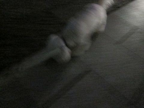 ビションフリーゼフントヒュッテ東京かわいいビションフリーゼ子犬関東こいぬ文京区hundehutteビションフリーゼ画像Bichon Friseビションフリーゼおんなのこメス子犬 312.jpg