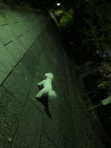 ビションフリーゼフントヒュッテ東京かわいいビションフリーゼ子犬関東こいぬ文京区hundehutteビションフリーゼ画像Bichon Friseビションフリーゼおんなのこメス子犬 314.jpg