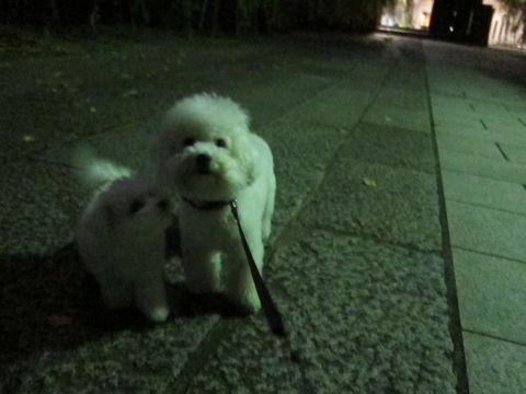 ビションフリーゼフントヒュッテ東京かわいいビションフリーゼ子犬関東こいぬ文京区hundehutteビションフリーゼ画像Bichon Friseビションフリーゼおんなのこメス子犬 316.jpg