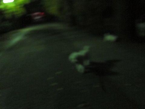 ビションフリーゼフントヒュッテ東京かわいいビションフリーゼ子犬関東こいぬ文京区hundehutteビションフリーゼ画像Bichon Friseビションフリーゼおんなのこメス子犬 319.jpg
