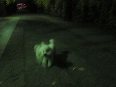 ビションフリーゼフントヒュッテ東京かわいいビションフリーゼ子犬関東こいぬ文京区hundehutteビションフリーゼ画像Bichon Friseビションフリーゼおんなのこメス子犬 320.jpg