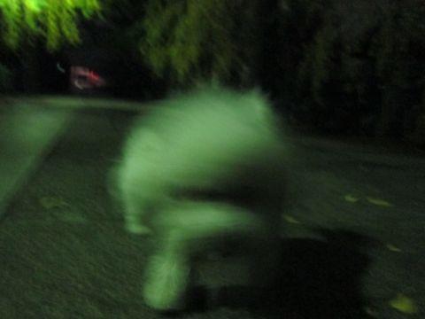 ビションフリーゼフントヒュッテ東京かわいいビションフリーゼ子犬関東こいぬ文京区hundehutteビションフリーゼ画像Bichon Friseビションフリーゼおんなのこメス子犬 322.jpg