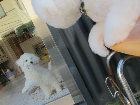 ビションフリーゼフントヒュッテ東京かわいいビションフリーゼ子犬関東こいぬ文京区hundehutteビションフリーゼ画像Bichon Friseビションフリーゼおんなのこメス子犬 378.jpg