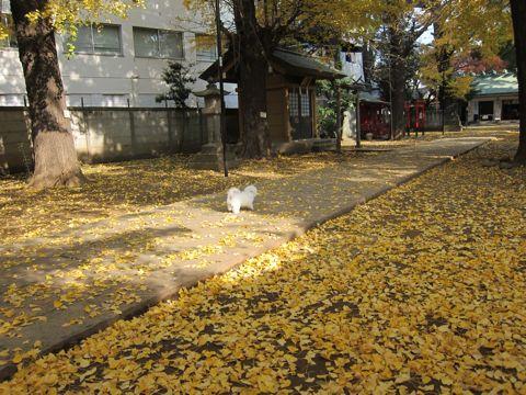 ビションフリーゼフントヒュッテ東京かわいいビションフリーゼ子犬関東こいぬ文京区hundehutteビションフリーゼ画像Bichon Friseビションフリーゼおんなのこメス子犬 397.jpg