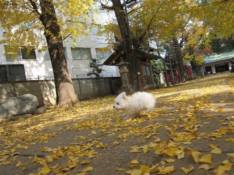 ビションフリーゼフントヒュッテ東京かわいいビションフリーゼ子犬関東こいぬ文京区hundehutteビションフリーゼ画像Bichon Friseビションフリーゼおんなのこメス子犬 401.jpg