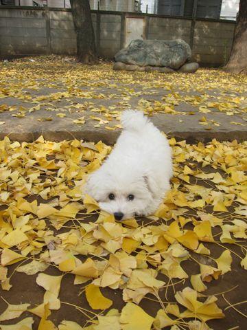 ビションフリーゼフントヒュッテ東京かわいいビションフリーゼ子犬関東こいぬ文京区hundehutteビションフリーゼ画像Bichon Friseビションフリーゼおんなのこメス子犬 408.jpg