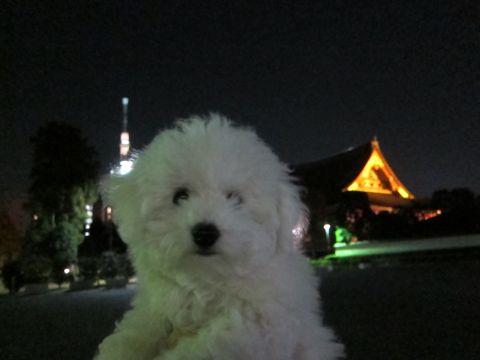 ビションフリーゼフントヒュッテ東京かわいいビションフリーゼ子犬関東こいぬ文京区hundehutteビションフリーゼ画像Bichon Friseビションフリーゼおんなのこメス子犬 420.jpg