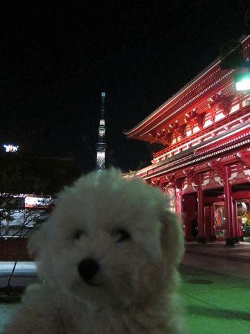 ビションフリーゼフントヒュッテ東京かわいいビションフリーゼ子犬関東こいぬ文京区hundehutteビションフリーゼ画像Bichon Friseビションフリーゼおんなのこメス子犬 430.jpg