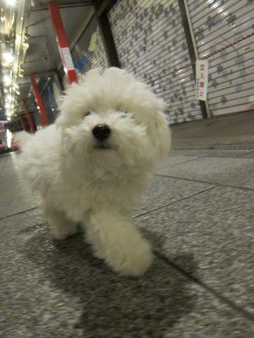 ビションフリーゼフントヒュッテ東京かわいいビションフリーゼ子犬関東こいぬ文京区hundehutteビションフリーゼ画像Bichon Friseビションフリーゼおんなのこメス子犬 432.jpg