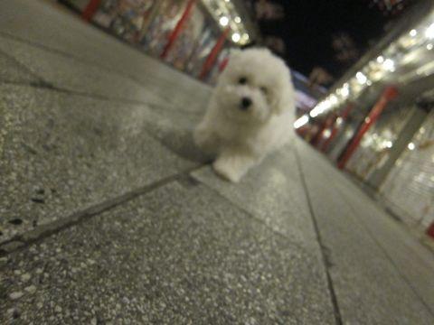 ビションフリーゼフントヒュッテ東京かわいいビションフリーゼ子犬関東こいぬ文京区hundehutteビションフリーゼ画像Bichon Friseビションフリーゼおんなのこメス子犬 433.jpg