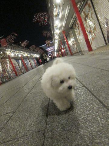 ビションフリーゼフントヒュッテ東京かわいいビションフリーゼ子犬関東こいぬ文京区hundehutteビションフリーゼ画像Bichon Friseビションフリーゼおんなのこメス子犬 434.jpg