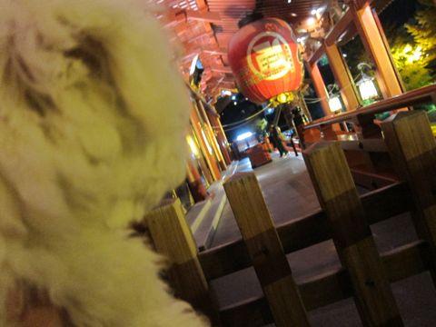 ビションフリーゼフントヒュッテ東京かわいいビションフリーゼ子犬関東こいぬ文京区hundehutteビションフリーゼ画像Bichon Friseビションフリーゼおんなのこメス子犬 437.jpg