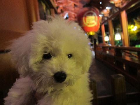 ビションフリーゼフントヒュッテ東京かわいいビションフリーゼ子犬関東こいぬ文京区hundehutteビションフリーゼ画像Bichon Friseビションフリーゼおんなのこメス子犬 438.jpg