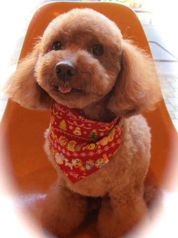 トリミングカット集犬カットモデルフントヒュッテ文京区かわいいビションフリーゼのカット東京ビションカット大きくまるく関東トイプードルカットモデル集8.jpg