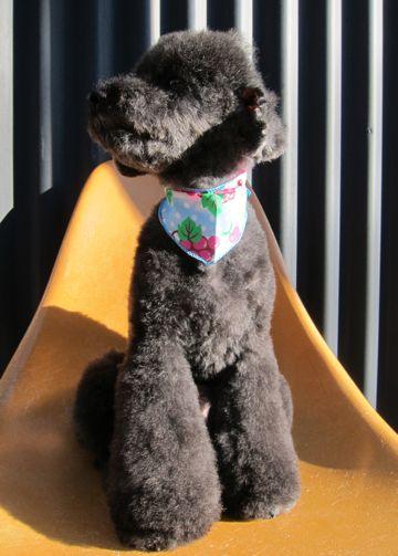 トイプードルデザインカット犬モヒカンカット玉ねぎカットトイ・プードルトリミング文京区フントヒュッテ東京トリミングサロントイプードルカット画像1.jpg