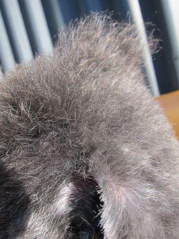 トイプードルデザインカット犬モヒカンカット玉ねぎカットトイ・プードルトリミング文京区フントヒュッテ東京トリミングサロントイプードルカット画像3.jpg