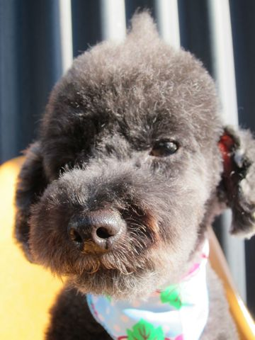 トイプードルデザインカット犬モヒカンカット玉ねぎカットトイ・プードルトリミング文京区フントヒュッテ東京トリミングサロントイプードルカット画像4.jpg