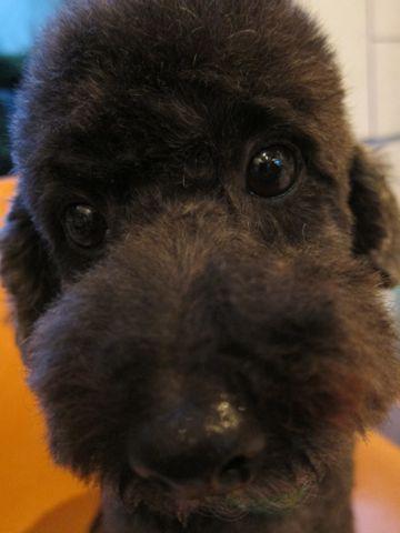 トイプードルデザインカット犬モヒカンカット玉ねぎカットトイ・プードルトリミング文京区フントヒュッテ東京トリミングサロントイプードルカット画像20.jpg