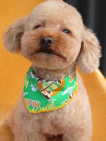 トイ・プードルトリミング文京区カットモデル犬関東トリミングサロン駒込フントヒュッテトイプードル画像トイプードルカットスタイルベアカットモデル2.jpg
