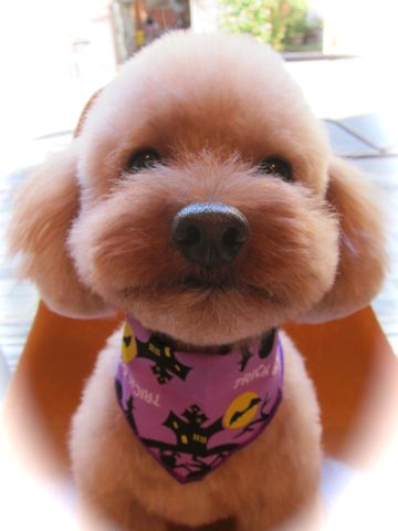 トイ・プードルトリミング文京区カットモデル犬関東トリミングサロン駒込フントヒュッテトイプードル画像トイプードルカットスタイルベアカットモデル8.jpg