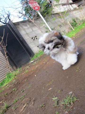 シーズーこいぬシー・ズー子犬かわいいシーズー画像Shih Tzuシー・ズー性格シーズーフントヒュッテ東京子犬こいぬかわいいシーズーのいるお店文京区hundehutte関東102.jpg