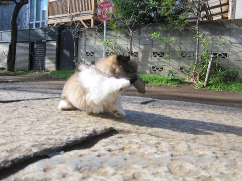 シーズーこいぬシー・ズー子犬かわいいシーズー画像Shih Tzuシー・ズー性格シーズーフントヒュッテ東京子犬こいぬかわいいシーズーのいるお店文京区hundehutte関東111.jpg
