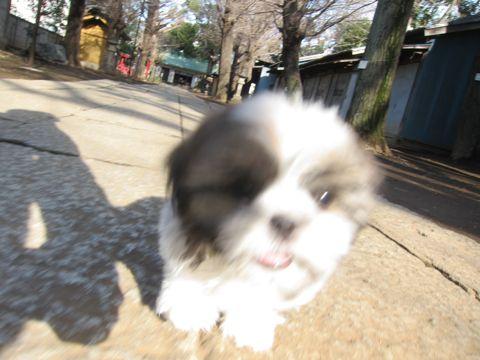 シーズーこいぬシー・ズー子犬かわいいシーズー画像Shih Tzuシー・ズー性格シーズーフントヒュッテ東京子犬こいぬかわいいシーズーのいるお店文京区hundehutte関東123.jpg