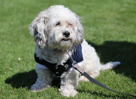 "【MLB】選手たちに愛された野良犬がブリュワーズ正式""入団""へ ハンク ブリュワーズ メジャーリーグ メリーベイル・ベースボールパーク.jpg"