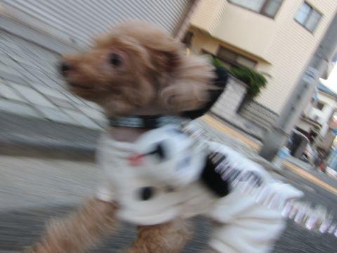 トイプードルペットホテル文京区フントヒュッテ東京トリミングサロン関東ティーカッププードル画像トイ・プードル黒ブラックトリミングカットモデル_47.jpg