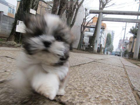 シーズーこいぬシー・ズー子犬かわいいシーズー画像Shih Tzuシー・ズー性格シーズーフントヒュッテ東京子犬こいぬかわいいシーズーのいるお店文京区hundehutte関東178.jpg