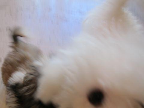 シーズーこいぬシー・ズー子犬かわいいシーズー画像Shih Tzuシー・ズー性格シーズーフントヒュッテ東京子犬こいぬかわいいシーズーのいるお店文京区hundehutte関東233.jpg