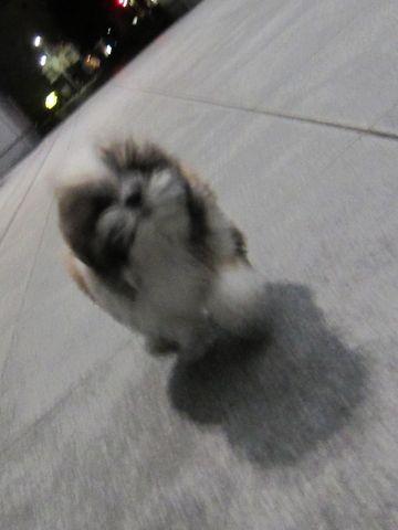 シーズーこいぬシー・ズー子犬かわいいシーズー画像Shih Tzuシー・ズー性格シーズーフントヒュッテ東京子犬こいぬかわいいシーズーのいるお店文京区hundehutte関東346.jpg