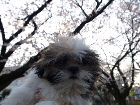 シーズーこいぬシー・ズー子犬かわいいシーズー画像Shih Tzuシー・ズー性格シーズーフントヒュッテ東京子犬こいぬかわいいシーズーのいるお店文京区hundehutte関東375.jpg