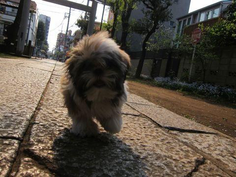 シーズーこいぬシー・ズー子犬かわいいシーズー画像Shih Tzuシー・ズー性格シーズーフントヒュッテ東京子犬こいぬかわいいシーズーのいるお店文京区hundehutte関東450.jpg
