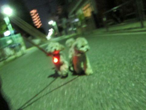 トイプードルペットホテル文京区フントヒュッテ東京トイプードルシルバー画像トイ・プードルhundehutte駒込ペットホテル様子トイプーシルバーかわいい画像10.jpg