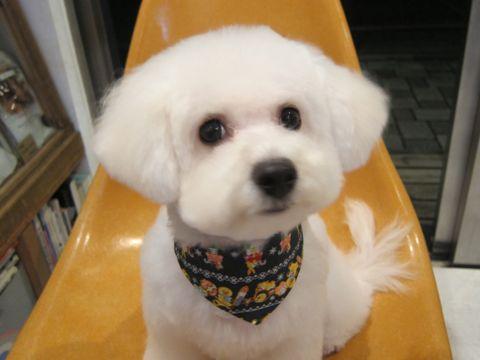 ビションフリーゼ駒込トリミング東京フントヒュッテ文京区かわいいビションフリーゼ画像ビションフリーゼこいぬのシャンプー時期子犬ビションベアカット1.jpg