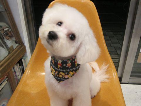 ビションフリーゼ駒込トリミング東京フントヒュッテ文京区かわいいビションフリーゼ画像ビションフリーゼこいぬのシャンプー時期子犬ビションベアカット2.jpg