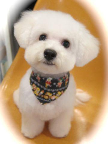 ビションフリーゼ駒込トリミング東京フントヒュッテ文京区かわいいビションフリーゼ画像ビションフリーゼこいぬのシャンプー時期子犬ビションベアカット3.jpg