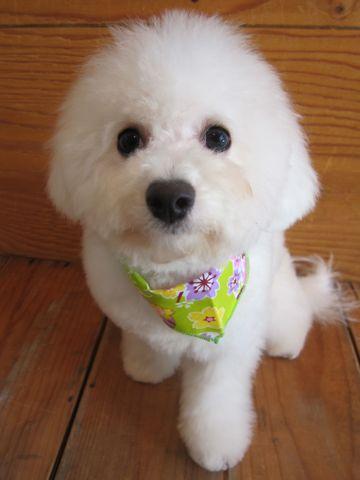 ビションフリーゼ駒込トリミング東京フントヒュッテ文京区かわいいビションフリーゼ画像ビションフリーゼこいぬのシャンプー時期子犬ビションベアカット5.jpg