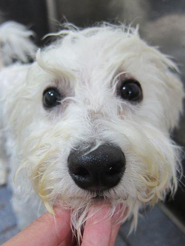 ビションフリーゼフントヒュッテ東京子犬こいぬかわいいビションフリーゼのいるお店文京区駒込ペットサロンhundehutteトリミングビションBichon Friseフランスの犬白い犬325.jpg
