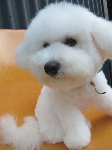 ビションフリーゼフントヒュッテ東京子犬こいぬかわいいビションフリーゼのいるお店文京区駒込ペットサロンhundehutteトリミングビションBichon Friseフランスの犬白い犬329.jpg