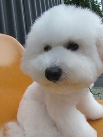 ビションフリーゼフントヒュッテ東京子犬こいぬかわいいビションフリーゼのいるお店文京区駒込ペットサロンhundehutteトリミングビションBichon Friseフランスの犬白い犬331.jpg