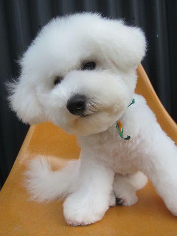 ビションフリーゼフントヒュッテ東京子犬こいぬかわいいビションフリーゼのいるお店文京区駒込ペットサロンhundehutteトリミングビションBichon Friseフランスの犬白い犬332.jpg
