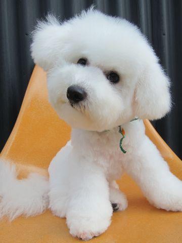 ビションフリーゼフントヒュッテ東京子犬こいぬかわいいビションフリーゼのいるお店文京区駒込ペットサロンhundehutteトリミングビションBichon Friseフランスの犬白い犬333.jpg