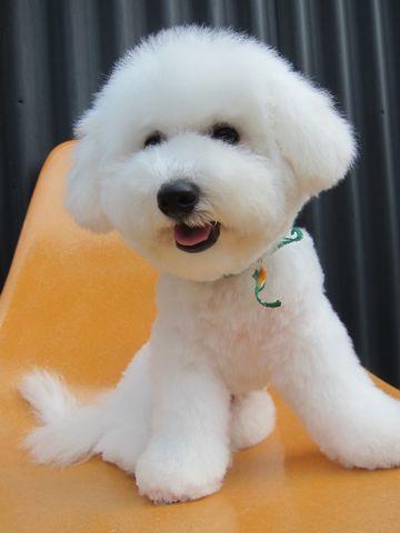 ビションフリーゼフントヒュッテ東京子犬こいぬかわいいビションフリーゼのいるお店文京区駒込ペットサロンhundehutteトリミングビションBichon Friseフランスの犬白い犬334.jpg