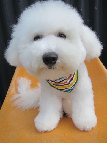 ビションフリーゼフントヒュッテ東京子犬こいぬかわいいビションフリーゼのいるお店文京区駒込ペットサロンhundehutteトリミングビションBichon Friseフランスの犬白い犬335.jpg