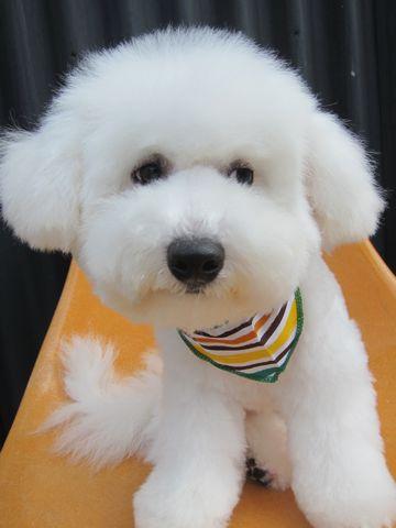 ビションフリーゼフントヒュッテ東京子犬こいぬかわいいビションフリーゼのいるお店文京区駒込ペットサロンhundehutteトリミングビションBichon Friseフランスの犬白い犬336.jpg
