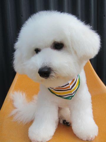ビションフリーゼフントヒュッテ東京子犬こいぬかわいいビションフリーゼのいるお店文京区駒込ペットサロンhundehutteトリミングビションBichon Friseフランスの犬白い犬337.jpg