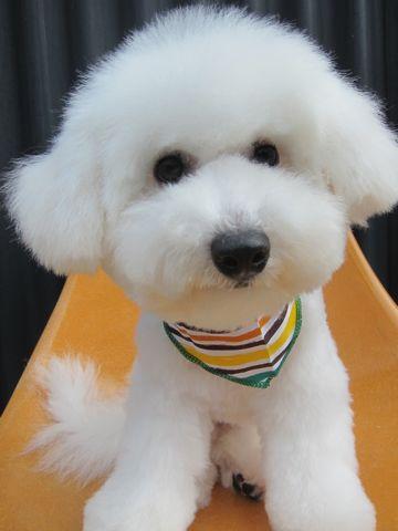 ビションフリーゼフントヒュッテ東京子犬こいぬかわいいビションフリーゼのいるお店文京区駒込ペットサロンhundehutteトリミングビションBichon Friseフランスの犬白い犬338.jpg