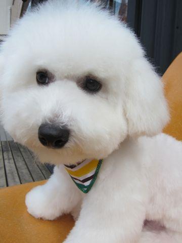 ビションフリーゼフントヒュッテ東京子犬こいぬかわいいビションフリーゼのいるお店文京区駒込ペットサロンhundehutteトリミングビションBichon Friseフランスの犬白い犬339.jpg